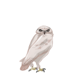 Burrowing Owl (Albino)