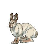 Snowshoe Hare (Spring)
