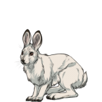 Snowshoe Hare (Winter)
