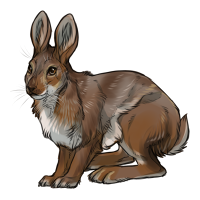 Snowshoe Hare (Summer)